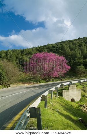 Cercis tree in full rose bloom and a winding road