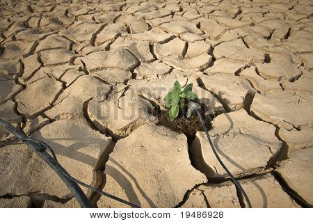 drip irrigation system watering a small basil plant on a cracked soil in the desert