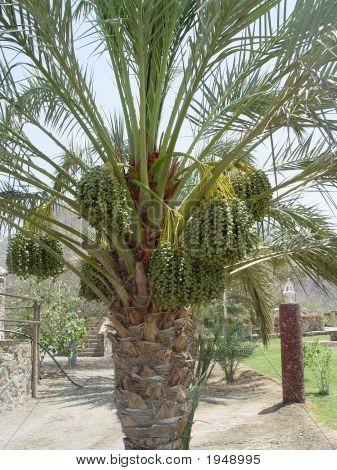 Dates Tree 3