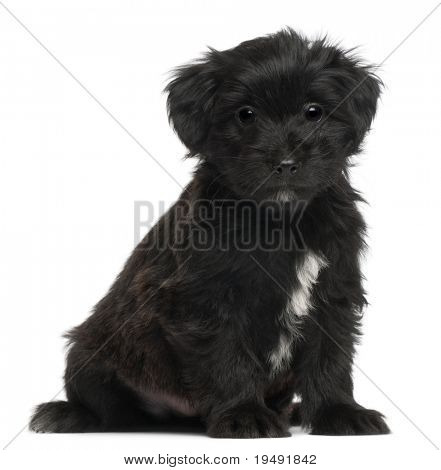 Pyrenean Shepherd puppy, 6 weeks old, in front of white background