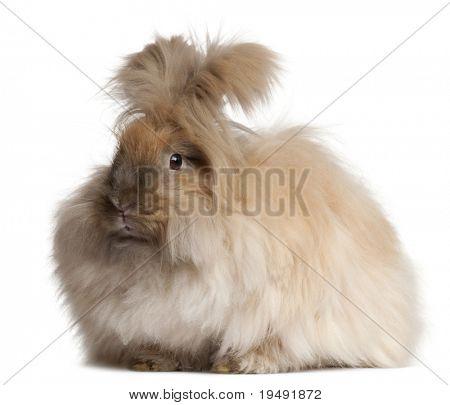 English Angora rabbit in front of white background