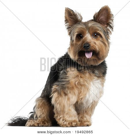 Yorkshire Terrier, 2 years old, sitting in front of white background
