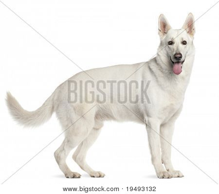 Berger Blanc Suisse, 4 years old, standing in front of white background
