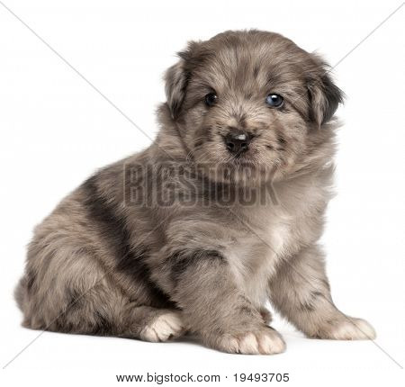 Pyrenean Shepherd puppy, 4 weeks old, in front of white background