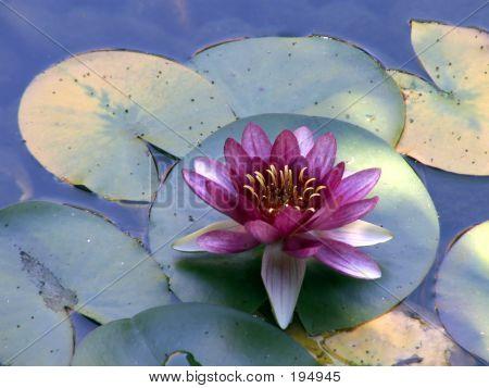 Purple Pond Lily