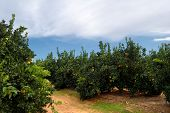 stock photo of orange-tree  - Orange trees plantation with ripe fruits in Spain - JPG
