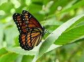 image of pecan tree  - beautiful monarch butterfly close shot on a pecan tree leaf