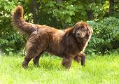 stock photo of newfoundland puppy  - Newfoundland dog breed in an outdoor - JPG