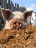 stock photo of pig head  - Funny pig on sawdust - JPG