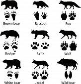 stock photo of raccoon  - Animals and its tracks - JPG