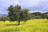 stock photo of olive trees  - ancient  olive grove in the Galilee - JPG