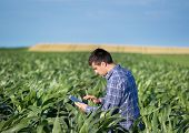 Farmer With Tablet In Corn Field poster