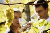 Close-up of bunch of green grapes hanging from vine in vineyard with blurred male and female winemak