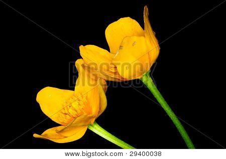 Marsch Marigold