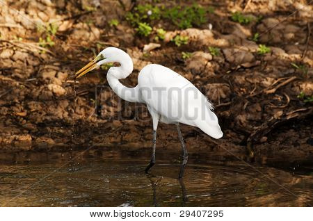 Great Egret hunting at the Morning
