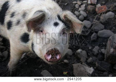 Pig Looking