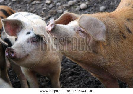 Pig Smells