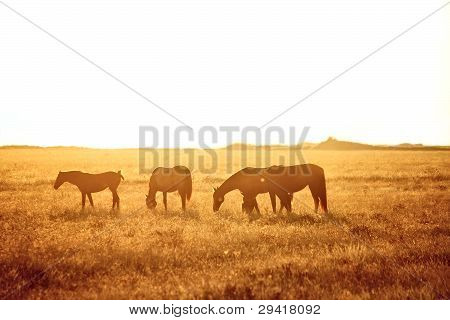 Some Horses Grazing