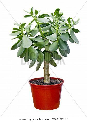 Houseplant Crassula In Red Pot