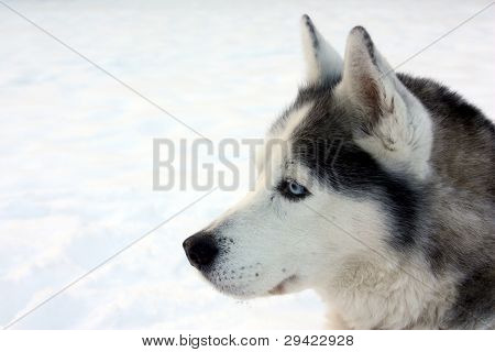 Profile of a Husky