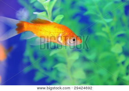Tropical fish in an aquarium whit water on background