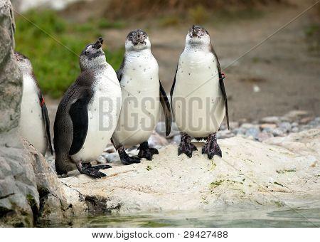 Bunch of penguins