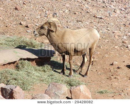 big horn sheep in desert