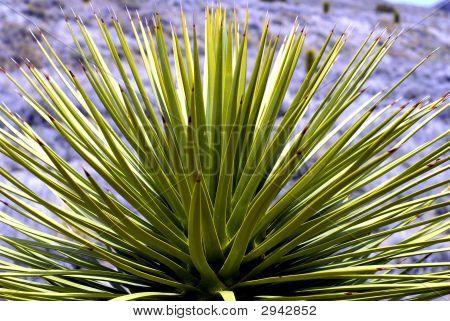 Yucca Plant Close Up