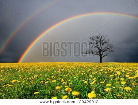 dandelion field and dead tree under cloudy sky with rainbow