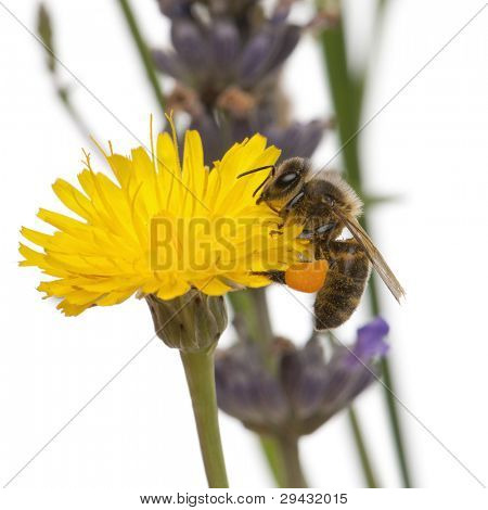 Western honey bee or European honey bee, Apis mellifera, carrying pollen, on flower in front of white background