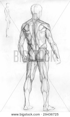 hand drawn pencil sketch illustration of the male human muscle anatomy