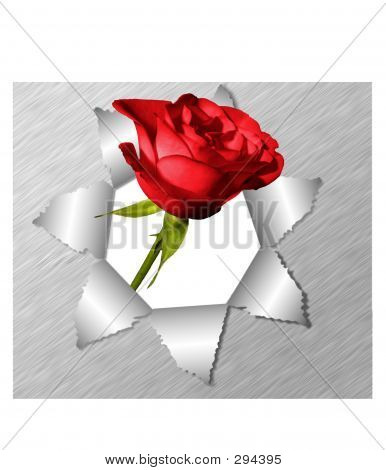 Torn Paper And Red Rose