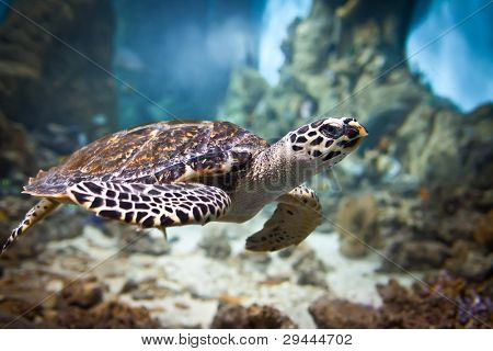 Eretmochelys imbricata floats under water