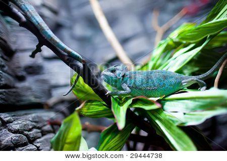 Chamäleon Calyptratus sitzt auf einem Baum
