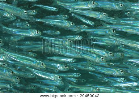 Sardine baitfish schooling together in the Sea