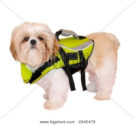 Shih Tzu Puppy In A Life Jacket