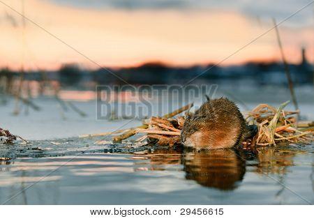 Rata almizclera en una puesta de sol.