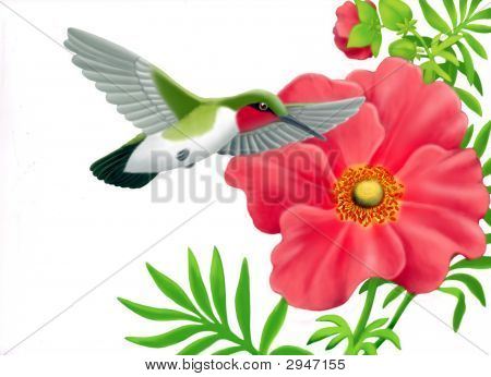 Ruby Throated Hummingbird And Geum Flower