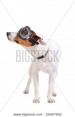 Jack Russel Terrier Dog Portrait
