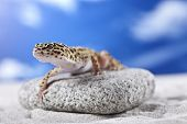 image of hemidactylus  - Leopard Gecko on sand in natural environment - JPG