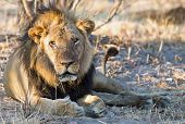 Grumpy Old Male Lion With A Scruffy Mane Resting In The Dry African Bush poster