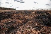 Scorched Earth, Spring Fires. A Field With Burnt Grass. The Destruction Of Insects. poster