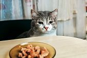 A Handsome Smart Cat Sits In A Chair At The Table And Looks At A Bowl Of Food. An Obedient Pet As A  poster