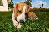 Beagle Dog Chewing Treat Outside On A Grass In The Garden Pureb poster