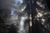 Beams Of Morning Sunlight Through Redwood Trees. Redwood Trees In The Morning Fog Mist. Fall Forest. poster