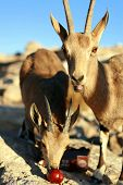 picture of nubian  - This photo of Nubian Goats was taken in Mizpe-Ramon ** Note: Shallow depth of field - JPG