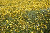 Super bloom. Southern California wild flower super bloom. California hills awash with wild flowers b poster