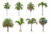 Coconut And Palm Trees Isolated Tree On White Background , The Collection Of Trees.large Trees Are G poster