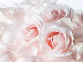 image of white roses  - Dreamy white roses with pink undertones fresh and romantic - JPG