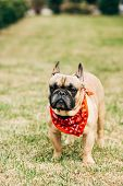 Purebred French Bulldog Wearing Red Scarf And Standing On Green Grass poster